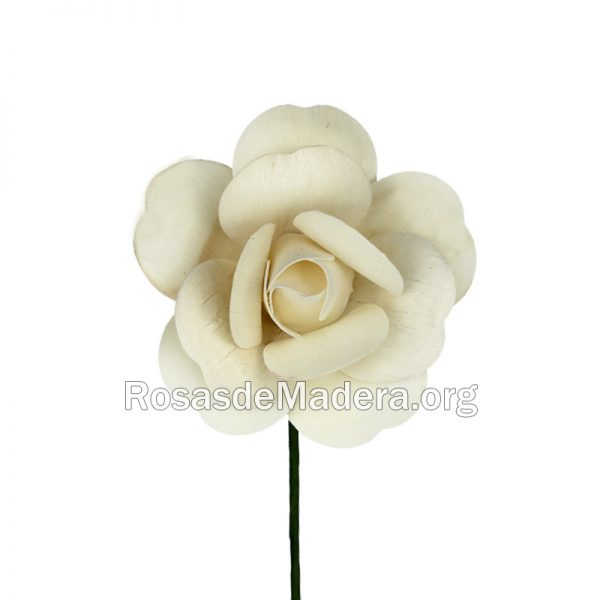 Rosa blanca abierta